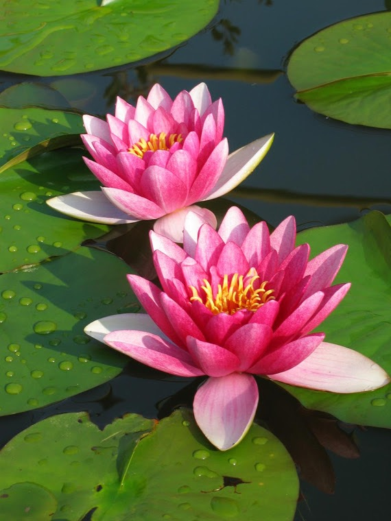 Lotus flowers for Sagewater Yoga